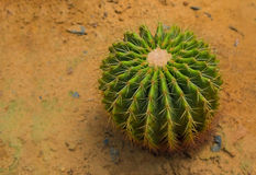 Den Echinocactus grusoniien växer på sand Fotografering för Bildbyråer