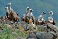 Den egyptiska gammet med gruppen av Griffon Vulture, stora fåglar av rovsammanträde på stenen, vaggar berget, naturlivsmiljön, Ma Royaltyfri Bild