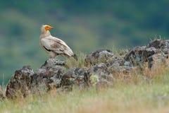 Den egyptiska gammet, Neophronpercnopterusen, stor fågel av rovsammanträde på stenen, vaggar berget, naturlivsmiljön, Madzarovo,  Royaltyfria Foton