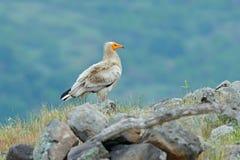Den egyptiska gammet, Neophronpercnopterusen, stor fågel av rovsammanträde på stenen, vaggar berget, naturlivsmiljön, Madzarovo,  Royaltyfri Bild
