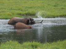 Den elefanten lät springbrunnen av hennes stam Royaltyfria Foton