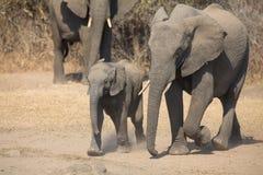 Den elefantkalven och modern laddar in mot vattenhålet Royaltyfri Fotografi