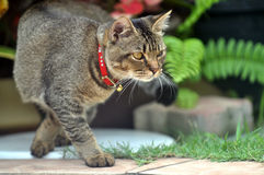 Den eleganta katten går Royaltyfri Bild