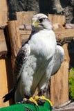 den elengant fågeln av ber att lura på hans offer Royaltyfri Fotografi