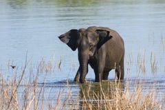 Den Elephans för den asiatiska elefanten maximusen badar i den Udawalawe medborgaren Royaltyfri Fotografi