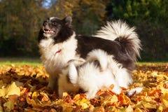 Den Elo hunden ger sig mjölkar till deras valpar Royaltyfri Fotografi