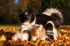 Den Elo hunden ger sig mjölkar till deras valpar Fotografering för Bildbyråer