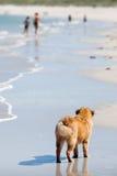 Den Elo valpen plattforer på stranden Royaltyfri Bild