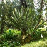 Den Encephalartos altensteiniien, östlig uddejätte, gömma i handflatan, botaniskt Arkivbild