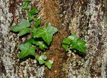 Den engelska murgrönavinrankan på en lav täckte trädstammen Royaltyfria Bilder