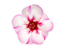Den enkla azalean blommar på vit bakgrund Royaltyfri Bild