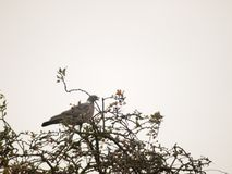 Den enkla duvan satt i trädblast med mulen himmelbakgrund Royaltyfria Bilder