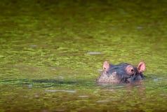 Den enkla gulliga flodhästkalven halv-doppade i grönt vatten Södra Afr Arkivfoto