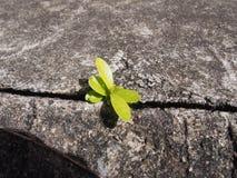 Den enkla murgrönan baserade växten som växer ut ur stads- betong Royaltyfria Foton