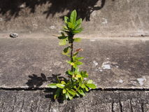 Den enkla murgrönan baserade växten som växer ut ur stads- betong Royaltyfri Foto