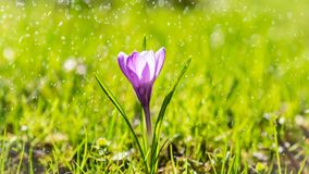 Den enkla purpurfärgade krokusblomman i droppar av ljust sommarregn, l Arkivfoto