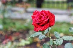 Den enkla röda knappen av steg med droppar av dagg Royaltyfria Bilder