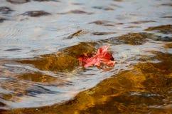 Den enkla röda lönnlövet svävar på sjön i höst Royaltyfria Foton