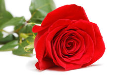 Den enkla röda rosen ligger på en vit bakgrund Arkivbild