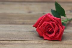 Den enkla röda rosen med vatten tappar på roskronblad Arkivbilder