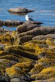 Den enkla seagullen sitter på vaggar med laver Arkivfoton