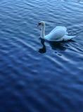 Den enkla vita svanen som svävar på den härliga blåa sjön som bakgrund med reflexion, och krusningen på vatten ytbehandlar på han Royaltyfri Foto