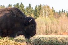 Den enorma bisonen går över fältet och äter filialer och gräs som fotograferas i den nordliga delen av Ryssland arkivfoto