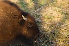 Den enorma bisonen g?r ?ver f?ltet och ?ter filialer och gr?s som fotograferas i den nordliga delen av Ryssland royaltyfri bild