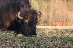 Den enorma bisonen g?r ?ver f?ltet och ?ter filialer och gr?s som fotograferas i den nordliga delen av Ryssland royaltyfria foton