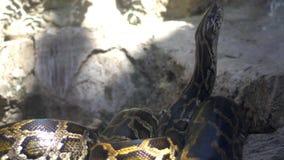 Den enorma ormen för boaconstrictoren (pytonorm) luktar luften, 4K stock video