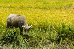 Den ensamma buffeln äter exponeringsglas Arkivfoto