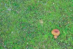 Den ensamma champinjonen på mossa Royaltyfri Fotografi