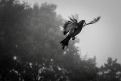 Den ensamma duvan flyger i himmel på vingarna av förälskelse Arkivbilder