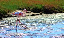 Den ensamma flamingo g?r till och med lagun royaltyfri fotografi
