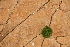 Den ensamma gröna växten växer i torrt vaggar sprickor royaltyfri foto