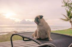 Den ensamma gulliga mopshundtungan som ut klibbar ledset och, sitter bara på strandstol med sommarhavet och att se molnig solnedg Royaltyfria Bilder