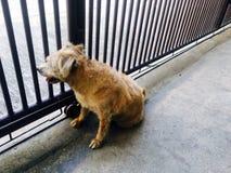 Den ensamma hemlösa hunden önskar att gå hem Arkivfoto