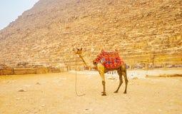 Den ensamma kamlet i Giza, Egypten royaltyfria bilder