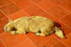 Den ensamma ledsna gamla hunden övergav den thai inhemska hunden som sover på golv Arkivbilder