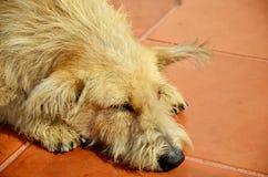 Den ensamma ledsna gamla hunden övergav den thai inhemska hunden som sover på golv Fotografering för Bildbyråer