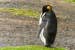 Den ensamma manliga konungpingvinet gör ren fjädrar Fotografering för Bildbyråer