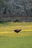 Den ensamma påfågeln Arkivfoton