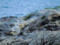 Den ensamma seagullen fotografering för bildbyråer