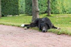 Den ensamma svarta hunden med ledsna ögon är lägga och vänta någon i parkera Arkivfoton