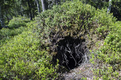 Den entrance. Entrance of a bears den excavated from an anthill, photo from North of Sweden Stock Image