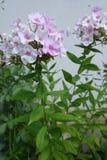 Den eregerade stammen av floxpaniculataen med gräsplansidor och gräns blommar Royaltyfria Bilder