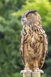 Den Eurasian Eagle-ugglan Bubobuboen är på en pol som väntar på ett rov royaltyfria foton