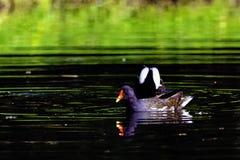 Den Eurasian gemensamma rörhönan också som är bekant som träskhönan, waterhen och översvämmar höna - simning i oktogon s royaltyfria bilder