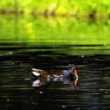 Den Eurasian gemensamma rörhönan också som är bekant som träskhönan, waterhen och översvämmar höna - simning i oktogon sjön royaltyfria bilder