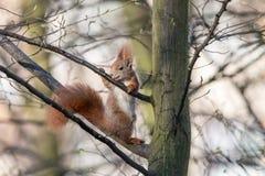 Den Eurasian röda ekorren slickar trädfruktsaft som sitter på filial royaltyfri foto